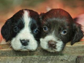 Вышивание крестиком. Два щенка