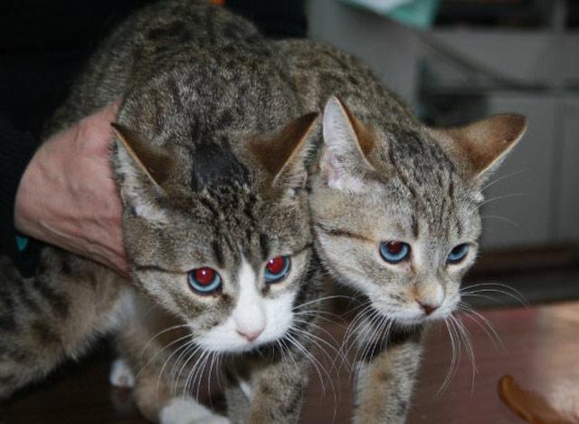 Алтайские голубоглазые кошки как хобби
