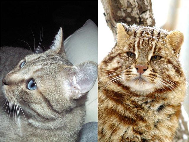 Алтайская голубоглазая и уссурийская кошка
