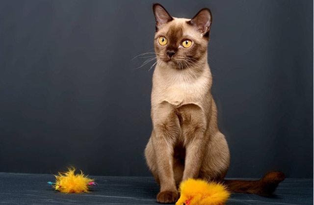 Бурманская порода кошек, традиционная