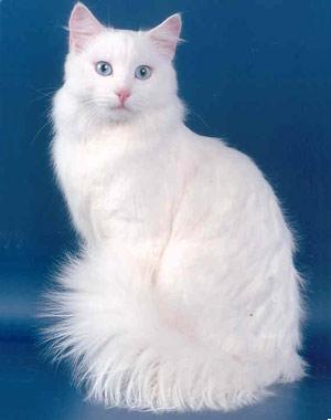 Хобби – ангорские кошки