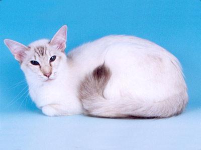 Хобби – кошки-балийцы