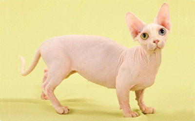 Хобби – кошки породы канадский сфинкс