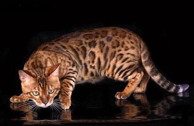 Хобби – бенгальские кошки