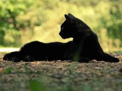 Породы черных кошек: пантеретта