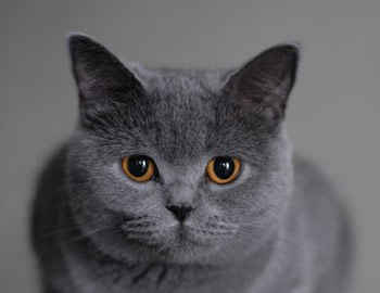Хобби – британские голубые кошки