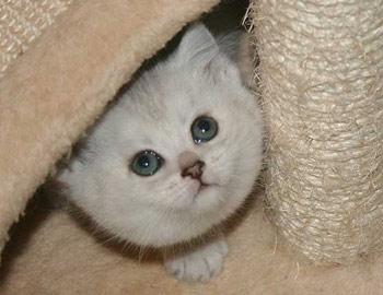 Хобби – британские кошки шиншиллы