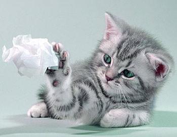 Хобби – британские кошки вискас