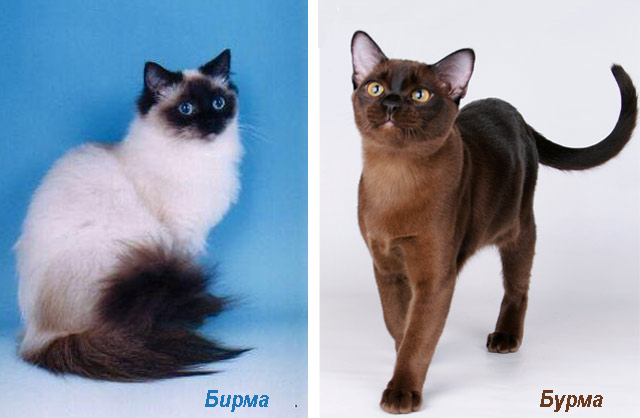 Бирманская и бурманская породы кошек
