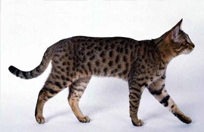 Домашний леопард - калифорнийские сияющие кошки
