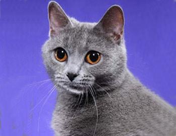 Хобби – картезианские кошки (шартрез)