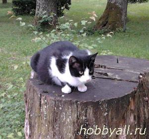 Дворянская порода кошек