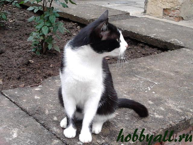 Кот дворянской породы