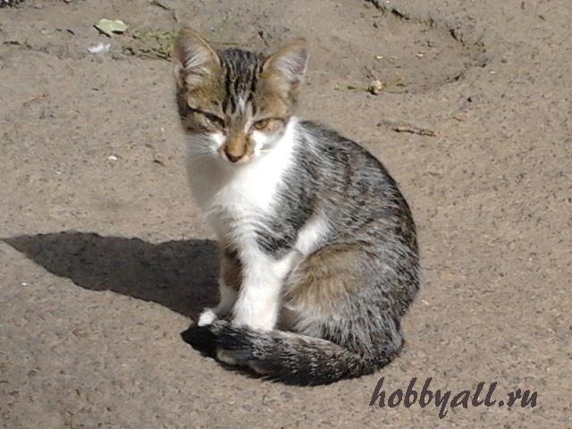 Одесский котенок дворянской породы
