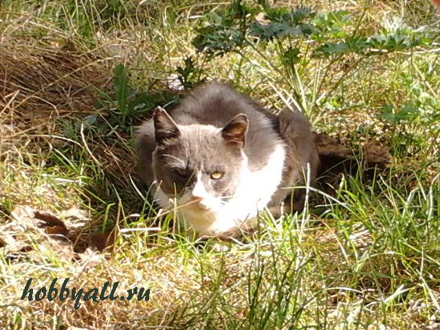 Кот-одессит дворянской породы
