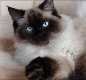 Кошки – очарование мое, или мяукающее хобби