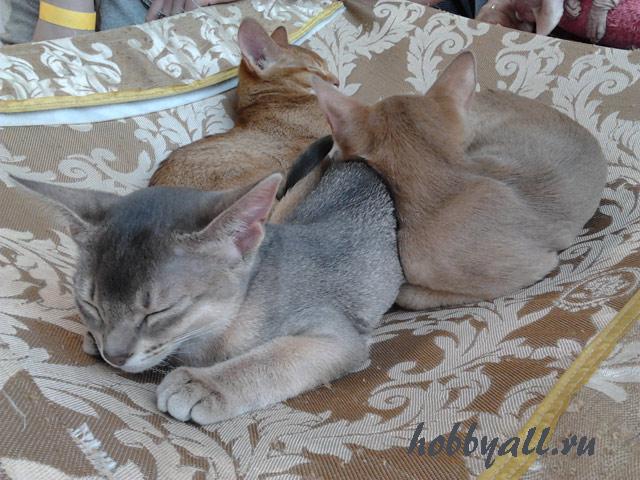 Экспонаты выставки в Одессе. Абиссинская порода кошек