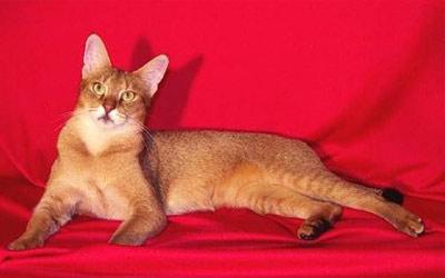 Хобби – кошки породы чауси