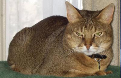 Хобби – коты породы чайзи