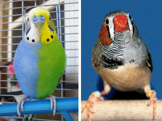 Химеры-птицы: волнистый попугайчик и вьюрок