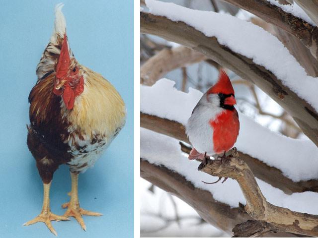 Химеры-птицы: петух и кардинал