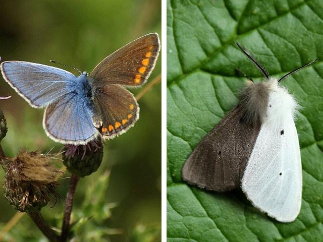 Химеры-бабочки
