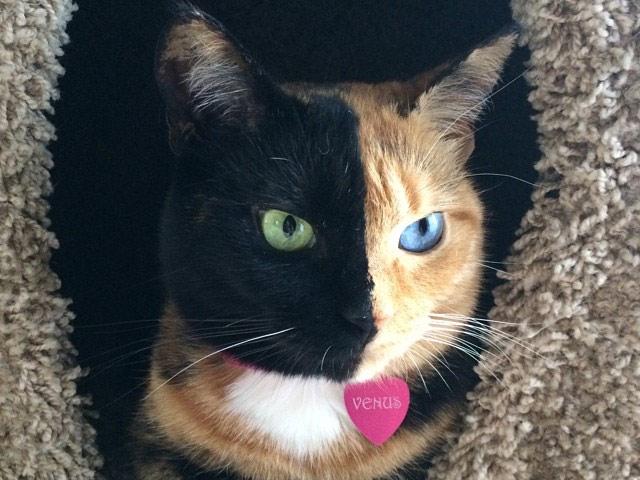 Кошка Венера - двуликая химера