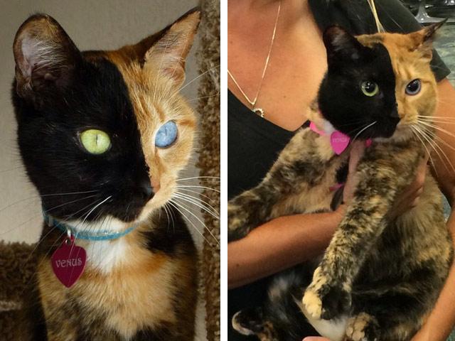Кошка химера с двумя лицами