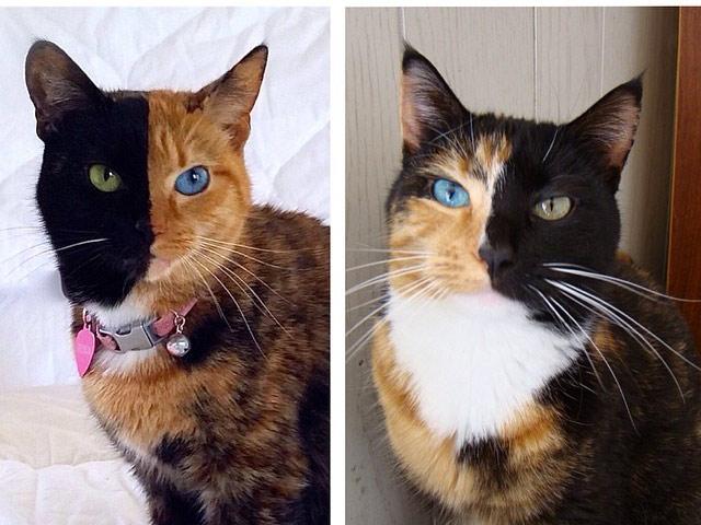 2 кошки-химеры: Венера и Вискиэнн