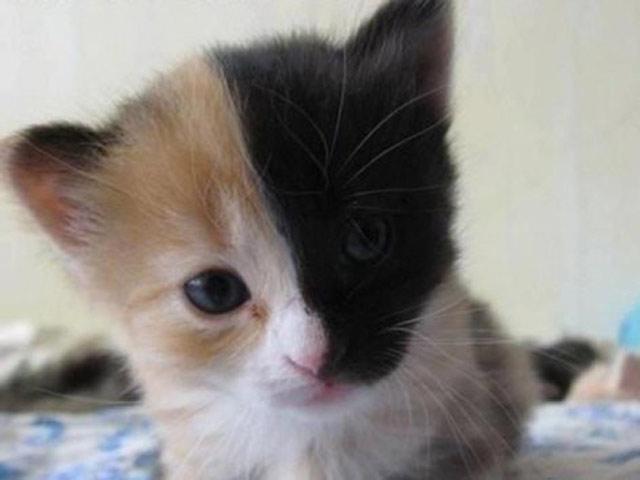 Котенок - химера