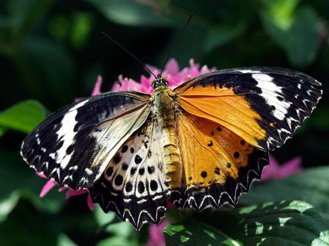 Химера-бабочка