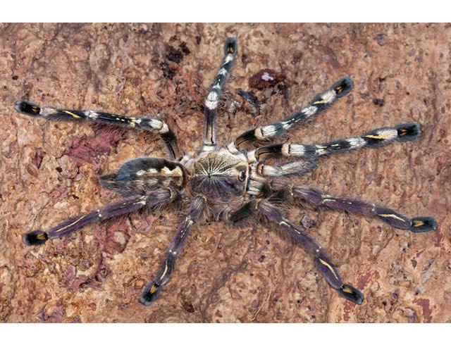 Химера-тарантул