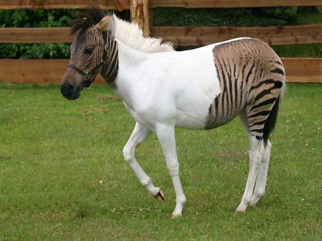 Химера-зебра