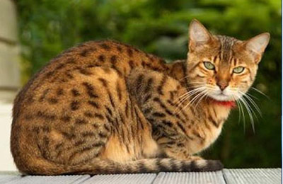 Хобби – кошки породы чито