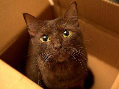 Породы шоколадных кошек: гавана браун