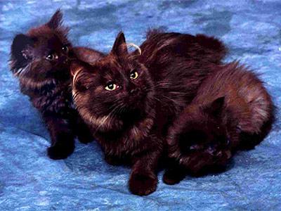 Породы шоколадных кошек: Шантильи тиффани