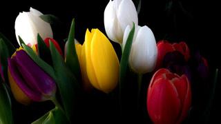 Вышивание крестиком: схемы Разноцветные тюльпаны