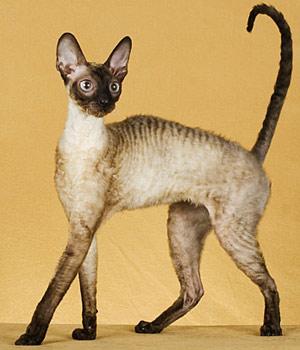 Порода кошек рекс, фото - Кошки с кудрявой шерстью: http://hobbyall.ru/poroda-koshek-reks-foto-rex-cornish-devon.html