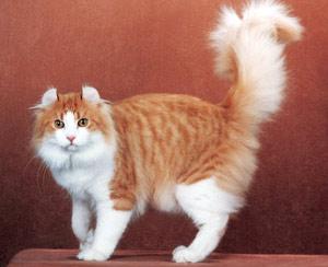 Хобби – кошки длинношерстные керлы