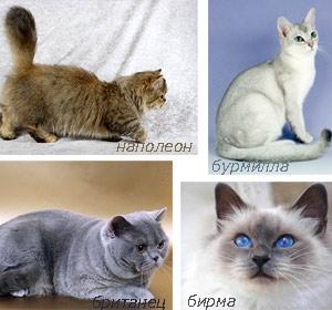 Коты персидской породы (персы)