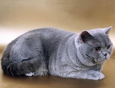 Хобби – британские короткошерстные кошки