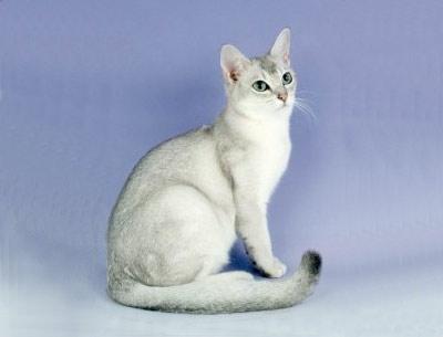Хобби – кошка-бурмилла