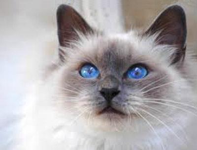 Хобби – бирманские кошки