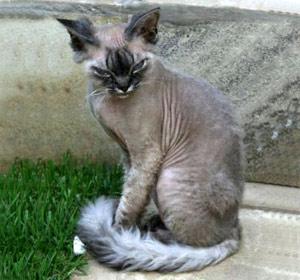 Порода кошек рекс, фото