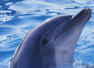 Вышивание крестиком. Дельфин
