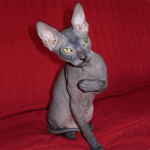 Хобби – кошки породы донской сфинкс