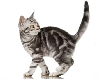 Хобби – европейские короткошерстные кошки