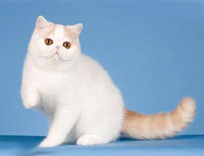 Хобби – экзотические кошки