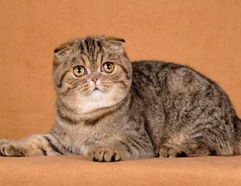 Выведение экспериментальных пород кошек. Фолдэкс
