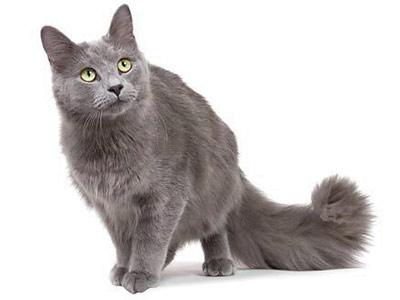 Породы серых кошек: нибелунг